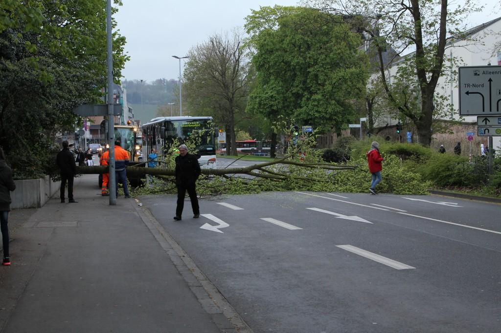 Ulme-Trier-1